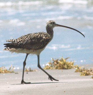 Photograph of the Long-billed Curlew