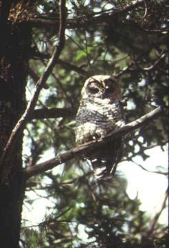 Photograph of the Mexican Spotted Owl