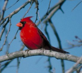 Photograph of the Northern Cardinal