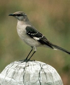 Photograph of the Northern Mockingbird