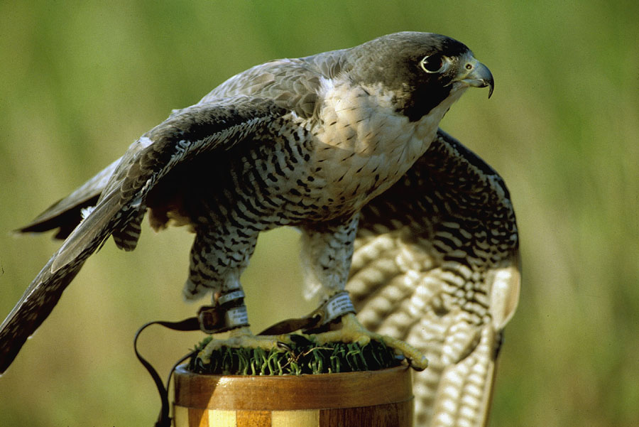 Young peregrines cannot depend on their parents to provide food forever, and must practice flying and hunting so that they may feed themselves (NPS photo).