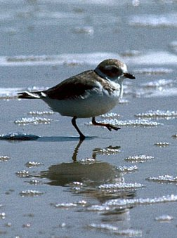 Photograph of the Piling Plover