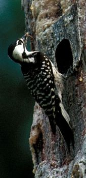 Photograph - Red-cockaded Woodpecker (Peromyscus borealis)