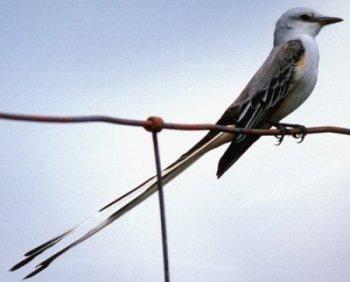Scissor-tailed Flycatcher ( Tyrannus forficatus)
