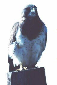 Photograph of the Swainson's Hawk
