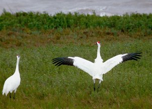 Picture of Whooping Crane (Grus americana)