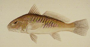 Drawing of Atlantic Croaker