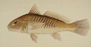 Atlantic croaker micropogonias undulatus for Texas fish size limits