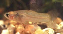 Picture of Big Bend Gambusia (Gambusia gaigei)