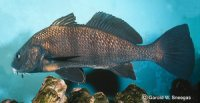 Photo of Black Drum