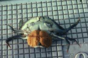 Photo of blue crab with eggs