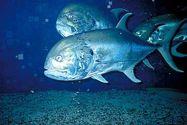Photo of Crevalle Jacks