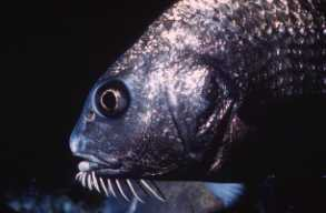 Photo of black drum barbels