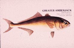 Drawing of greater amberjack