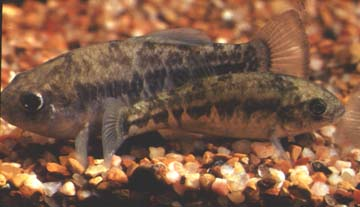Picture of Leon Springs Pupfish (Cyprinodon bovinus)