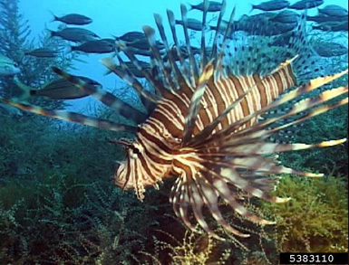 the destruction of the island of bonaires ecosystem caused by the invasive fish species the lionfish Wetland habitats which caused what fraction of fish destruction & fragmentation invasive species ecosystems, species & natural services 2.