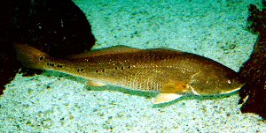 Red drum sciaenops ocellatus for Texas freshwater fish limits