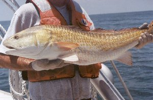 Red drum sciaenops ocellatus for Nc fishing license cost