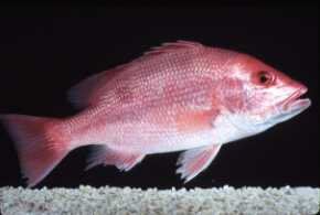 Photo of red snapper