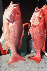 Photo of two very large red snpper
