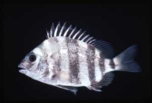 Photo of Sheepshead