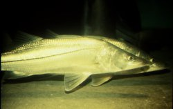 Picture of 2 snook in water
