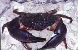 photo of stone crab