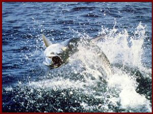Photo of tarpon jumping