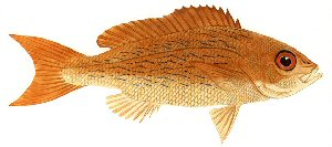 Drawing of vermilion snapper