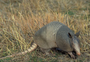 Photograph of the Armadillo