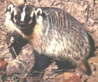Photograph of the Badger