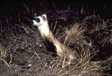 Photograph of the Black-footed Ferret