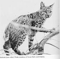 Photograph of the Bobcat
