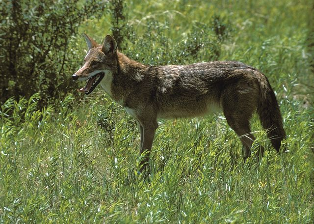 What does a coyote look like facts 11