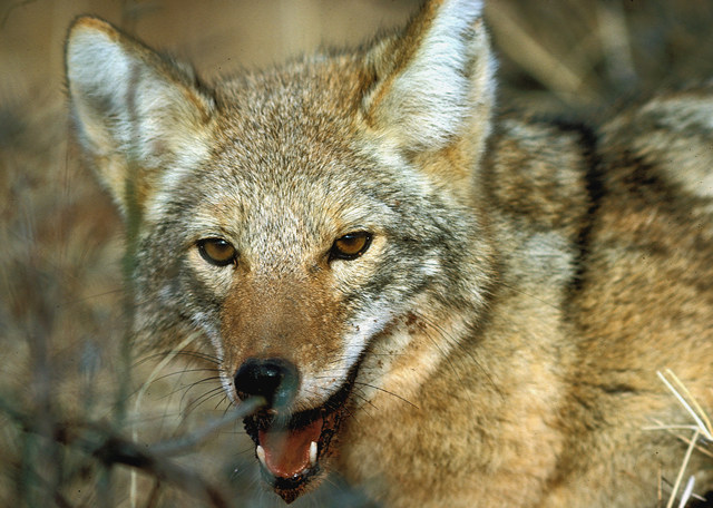 a look at the coyote or canis latrans Coyotes (canis latrans) exist in just a single species, while there are two species  of wolves stateside  wolves' and coyotes' snouts also look markedly different.