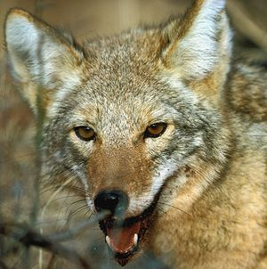 Picture of Coyote (Canis latrans)