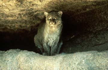 Photograph of the Jaguarundi