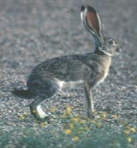 Photograph of the Black-tailed Jackrabbit
