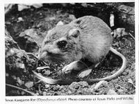 Photograph of the Texas Kangaroo Rat