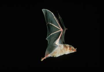 Picture of Mexican Long-nosed Bat (Leptonycteris nivalis)