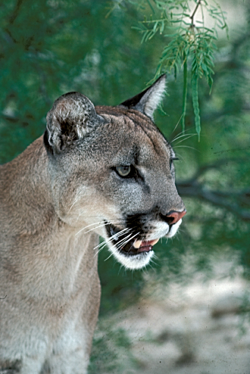 cougars in texas hill country