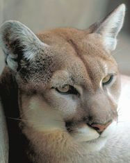 Picture of Mountain Lion (Puma concolor)