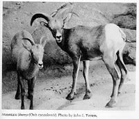 Photograph of the Mountain Sheep