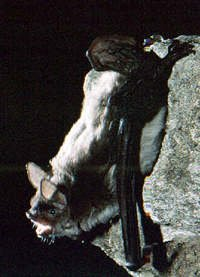 Photograph of the Cave Myotis
