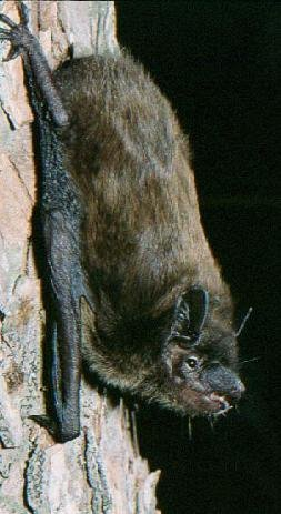 Photograph of the Evening Bat