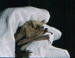 Photograph of the Eastern Pipistrelle