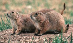 Photograph of the Black-tailed Prairie Dog