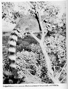 Photograph of the Ringtail