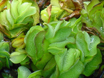photo of giant salvinia foliage