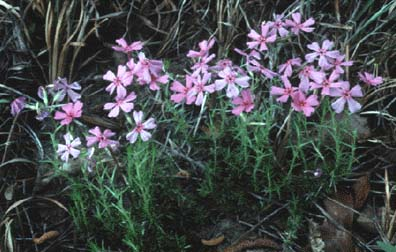 Photograph of the Texas Trailing Phlox
